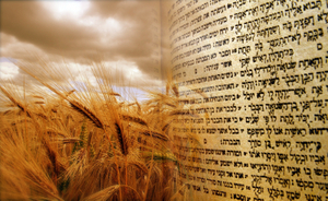 SHAVUOT - a combination of BARLEY FIELD IN STANDSFIELD SUFFOLK with BIBLE TEXT - HEBREW SCRIPT © Greengage | Panoramio.com and © boryak | iStockPhoto.com respectively